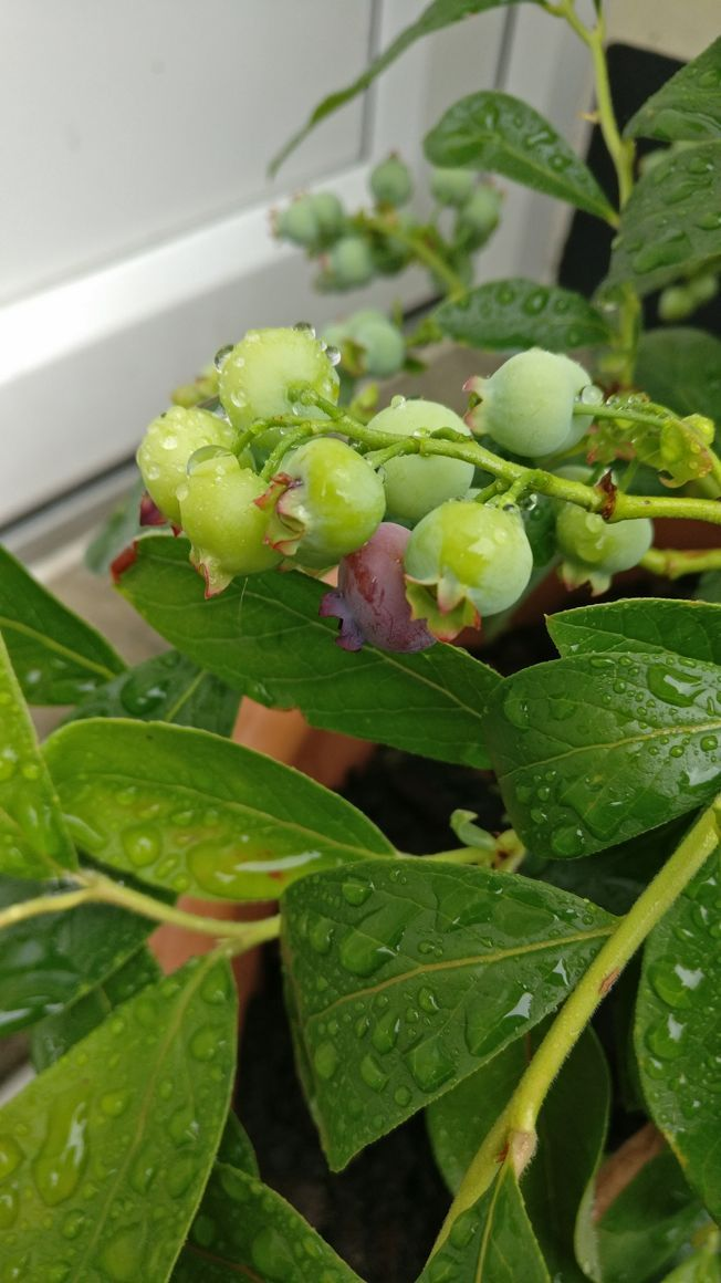 A picture of a bunch of blueberries growing, still green. One is starting to change colour and turn purple.